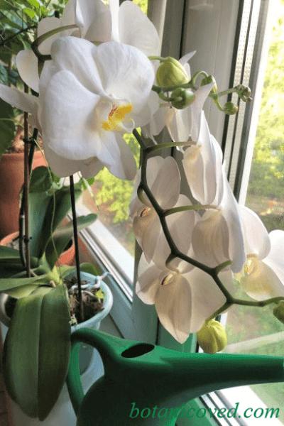 удобрения для лучшего цветения фаленопсиса