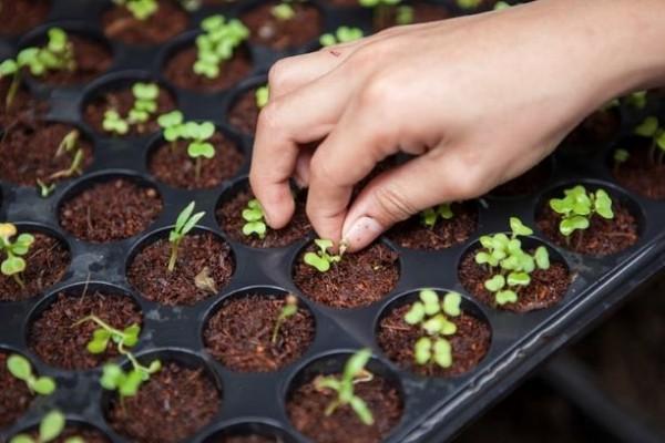 как вырастить рассаду мяты из семян